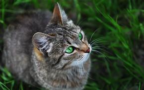 Картинка кошка, взгляд, травка, котейка