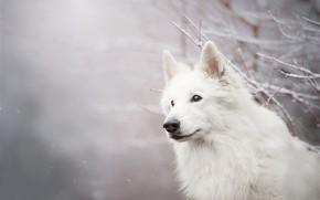 Картинка взгляд, морда, снег, ветки, собака, боке, Белая швейцарская овчарка