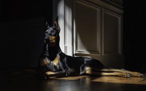 Картинка взгляд, собака, лежит, doberman