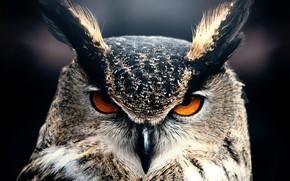 Обои Owl, Animal