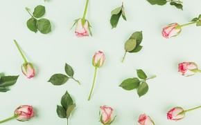 Картинка цветы, Розы, бутоны