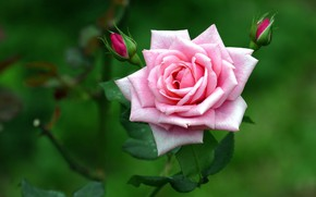 Картинка розовый, роза, лепестки