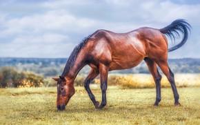 Картинка поле, небо, трава, облака, поза, конь, лошадь, обработка, пастбище, луг, простор, коричневый, трапеза, пасется