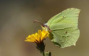 Картинка цветок, бабочка, лимонница, крушинница