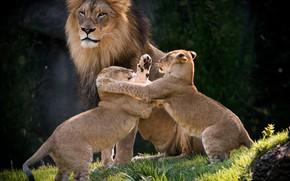 Обои игра, лев, львята, семейка