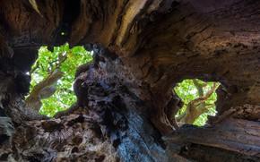 Картинка дерево, Англия, дупло, дуб черешчатый, Шервудский лес