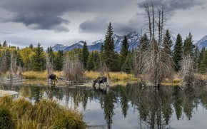Обои пейзаж, лоси, Wyoming, Grand Tetons Nat. Park