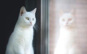 Обои белая, красавица, окно, отражение, стекло, кошка, портрет