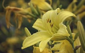 Картинка лето, цветы, природа, лилии, цветение