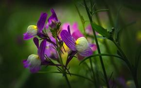 Картинка цветок, природа, растение, луг, Льнянка