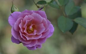 Картинка цветок, макро, роза, лепестки