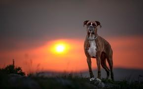 Картинка закат, собака, Боксёр