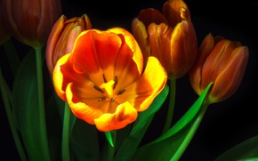 Картинка Flower, Black, Tulip, Macro, Backgraund