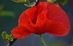 Картинка Боке, Bokeh, Red poppy, Красный мак