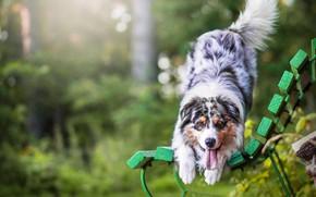 Обои собака, взгляд, боке, Аусси, скамейка, Австралийская овчарка, язык
