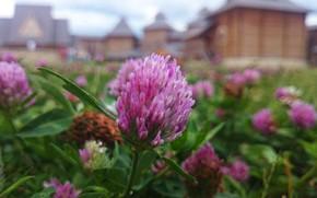 Картинка лето, макро, цветы, клевер
