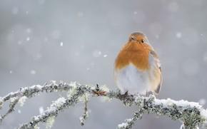 Обои зима, птица, ветка, Зарянка