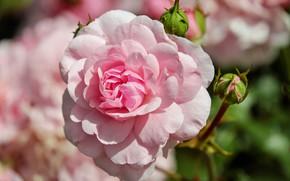 Картинка розовая, роза, rose, бутоны, flower