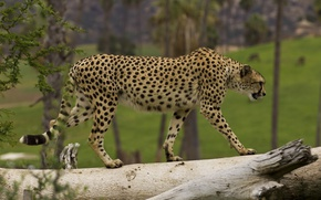 Картинка хищник, гепард, грация, дикая кошка, идёт