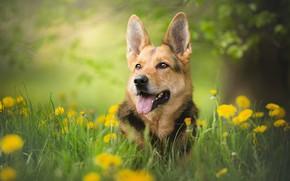 Картинка зелень, собака, боке, овчарка