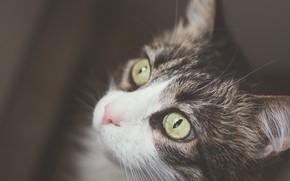 Картинка кошка, кот, взгляд, фон, портрет, мордочка, котёнок, котейка