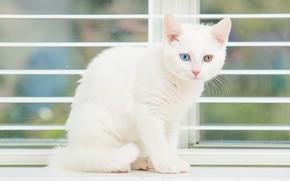 Картинка белый, котенок, глазки, окно