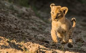 Картинка лев, прогулка, котёнок, львёнок
