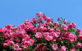 Картинка небо, розовый, розы