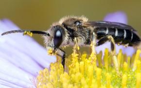 Картинка цветок, глаза, макро, желтый, пчела, фон, пыльца, мордочка, насекомое, усики, опылитель