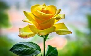 Картинка роза, лепестки, желтая
