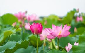 Картинка листья, розовый, лотос