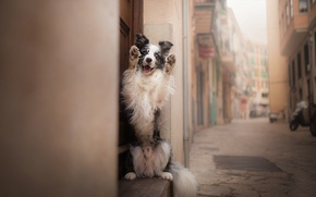 Обои друг, улица, Бордер-колли, пёс