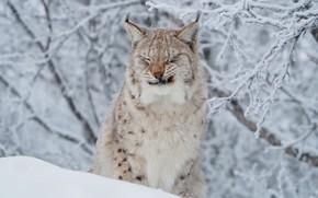 Обои ветки, рысь, морда, иней, зима, снег, кошка, дикая природа, портрет