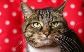 Обои кот, фон, глаза, коте