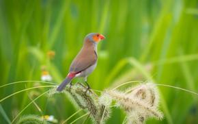 Обои птицы, оранжевощёкий астрильд, боке