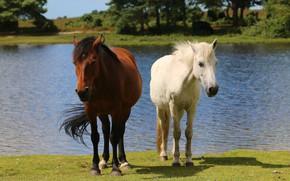 Картинка вода, деревья, природа, река, берег, две, кони, лошади, блондинка, пара, шатенка, водоем, лошадки