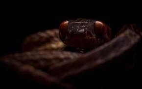 Картинка природа, фон, змея, Boiga guangxiensis, Гуаньсийская бойга