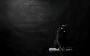 Обои фон, чёрная, кошка
