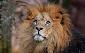 Обои глаза, лев, кошки, дикие кошки, морда, красавец, смотрит вверх, природа, фон, грива, взгляд, портрет