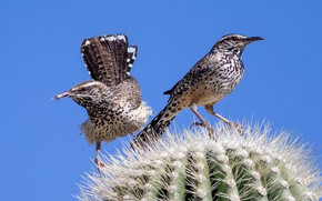 Картинка птицы, клюв, кактус, хвост, обыкновенный кактусовый крапивник