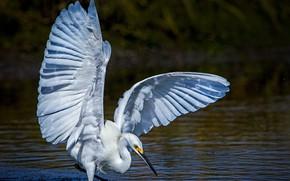 Обои птица, крылья, белая американская цапля, вода, клюв