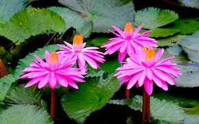 Картинка цветы, природа, розовый, лотосы, цветение
