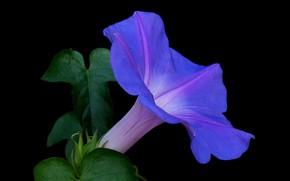 Картинка цветок, листья, природа, фон, лепестки