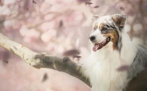 Картинка собака, лепестки, боке, Австралийская овчарка, Аусси