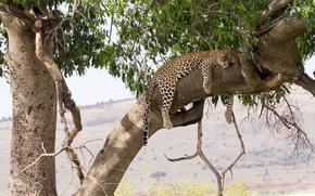 Обои отдых, сон, хищник, леопард, лежит, дикая кошка, на дереве