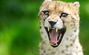 Обои язык, дикая кошка, гепард, морда, пасть, фон, зубы