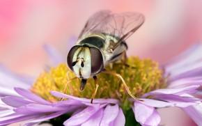 Картинка цветок, глаза, макро, муха, фон, крылья, лепестки, мордочка, насекомое, мушка