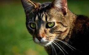 Картинка Кошка, Cat, Боке