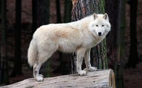 Картинка лес, белый, деревья, природа, волк, хищник