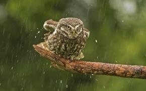 Обои сова, дождь, птица, сук, Домовый сыч